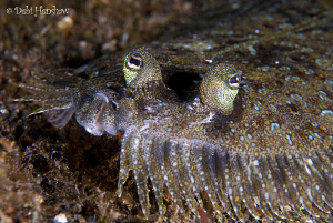 Come any closer and I'm off!   Peacock Flounder found in ... by Debi Henshaw