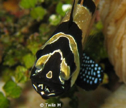 Banggai Cardinalfish with eggs Eggs, Indonesia,  Lembeh,... by Twila M