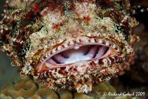 "Say ""Ahhh""-Scorpionfish-Bonaire by Richard Goluch"