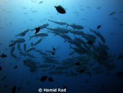 Schooling Jacks in North Ari atoll, Maldives. by Hamid Rad