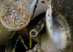 Blue eyed conch. by Juan Torres