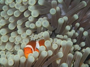 Clown Fish taken on a dive from Sipidan Island by Simon Sly