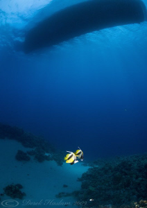 Red sea bannerfish under the boat. D3, 16mm. by Derek Haslam