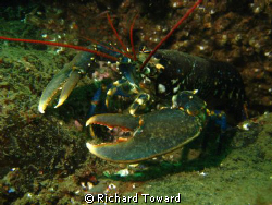 Lobster taken off Eyemouth, Scotland with canon a570is an... by Richard Toward