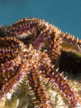Sea Star. Taken with Olympus E-20 in Titan housing with m... by Istvan Juhasz