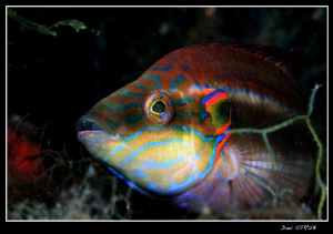 Male Ocellated Wrasse - building a nest by Daniel Strub