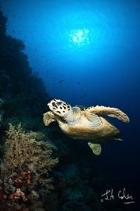 Swimming Turtle by Julian Cohen