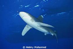 the longimanos shark by Helmy Mohamed