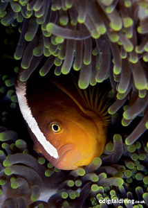 A portrait of the simple Anemonefish - always challenging... by David Henshaw