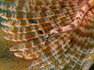 Another Pipe fish, taken with Canon S70 and UCL 165 by Beate Seiler