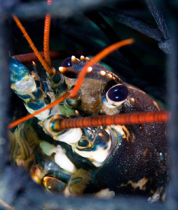 Face of despair. Lobster (Homarus gammarus) framed in Pot... by Jim Garland