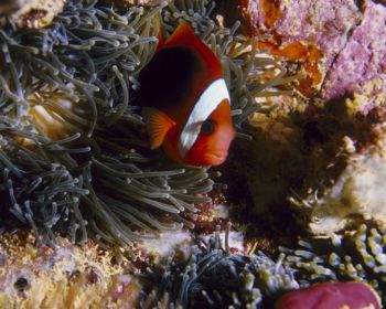 Anemone Fish on Kensho Maru, Truk Lagoon. by Eric Bancroft