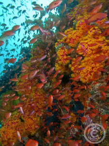Its all about the Anthias!  Good current on this dive bro... by Stephen Holinski