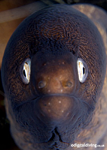 Portrait of White Eyed Moray Eel. Taken with D200 and 60m... by David Henshaw