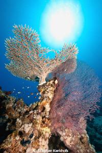 Beautifull coral taken in Ras Ghozlani, Ras mohammed. by Stephan Kerkhofs