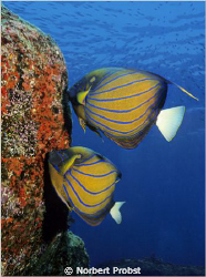 For sure the most beautiful angel fish Pommacanthus annul... by Norbert Probst