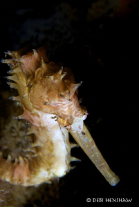 """ A Different Angle""  Thorny Seahorse portrait by Debi Henshaw"