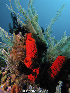 Red sponge ,taken at Wakatobi with Canon S70 an Inon Z240 by Beate Seiler