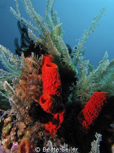 Red sponge ,taken at Wakatobi with Canon S70 an Inon Z240 by Beate Seiler