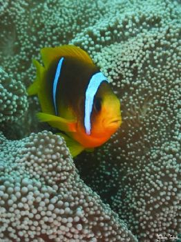 Clown fish in Marsa Alam. Taken with Olympus E-20 in Tita... by Istvan Juhasz