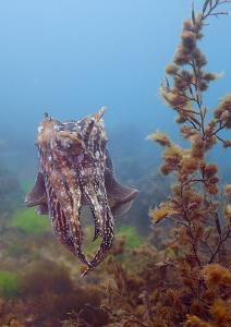 Cuttlefish. Babbacombe, May 09. D200 20mm. by Mark Thomas