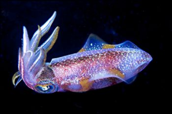 A squid on a night dive in Dominica.  Shot with N90 and 1... by Kathy Damgaard