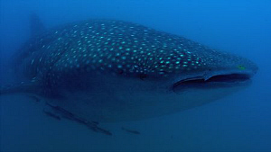 Whale shark in Sodwana, South Africa by Charles Wright