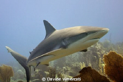 Caribbean grey shark @ jardines de la reina, cuba. Taken ... by Davide Vimercati