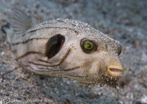 Manila pufferfish. Lembeth straits. D200, 60mm. by Derek Haslam