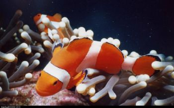clown fish , puerto galera , philipinnes , one of my firs... by Mike Cartwright