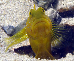 Goby look out. Taken with a canon G9, location Salang Tio... by Annette Thomasz