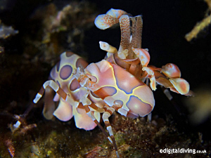 Multi coloured Harlequin Shrimp. by David Henshaw