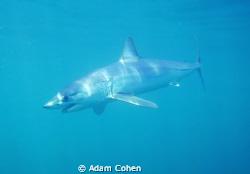 Full body Mako portrait in rare blue waters off Long Isla... by Adam Cohen