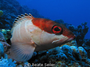 Blacktip grouper, taken with Canon S70 by Beate Seiler