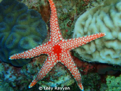 Sea Star by Loay Rayyan