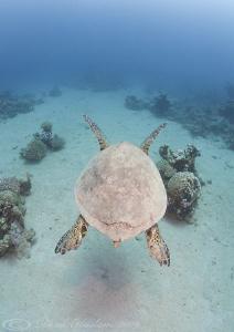 Hawksbill turtle. Marsa Alam. D3, 16mm. by Derek Haslam