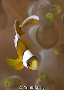 tiny clownfish by Geoff Spiby