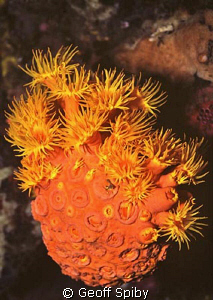 cup coral cluster by Geoff Spiby
