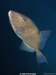 Delicate swimming. Triggerfish (Balistes capriscus). by Helena Encarnação