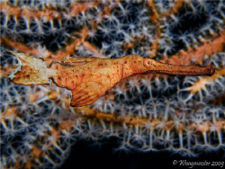 Ghost-Pipefish (Solenostomus sp.), Tulamben, Bali (Canon ... by Marco Waagmeester