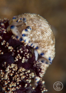 Little nudi munching away.  Anilao.  Canon G10, Inon clos... by Stephen Holinski