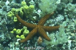 starfish by Erdal Altın