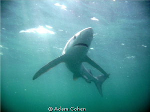 12-foot blue shark shot from below with a sunlit backgrou... by Adam Cohen