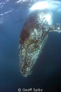 Humpback whale taken off Port St Johns during this years ... by Geoff Spiby