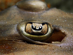 """EYE"" Eastern Shovelnose Ray. Fly Point Dive Site in Nels... by Ken Thongpila"