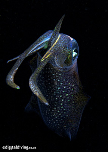 Big Fin Squid taken with D200 and 60mm lens. by David Henshaw