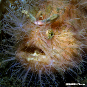Just one of those Hairy Frogfish from Lembeh. Taken with ... by David Henshaw