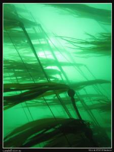 Bulb Kelp. (Canon G10) by Bea & Stef Primatesta