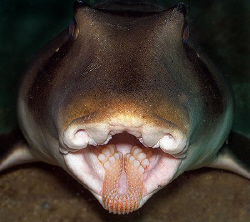 """Teeth"" Port Jackson Shark at Shelly Beach Dive Site in S... by Ken Thongpila"