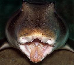 """Teeth"" Port Jackson Shark at Shelly Beach Dive Site in S... by Ken Thongpila"